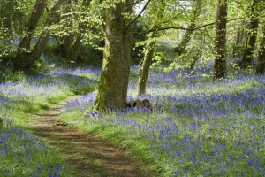 A path winds through the bluebell wood in April on the estate at Godolphin House, near Helston, Cornwall