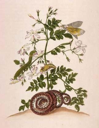Maria Sibylla Merian in Metamorphosis insectorum Surinamensium (Metamorphosis of the Insects of Suriname) Amsterdam, 1705, figure 46, Hand-colored engraving
